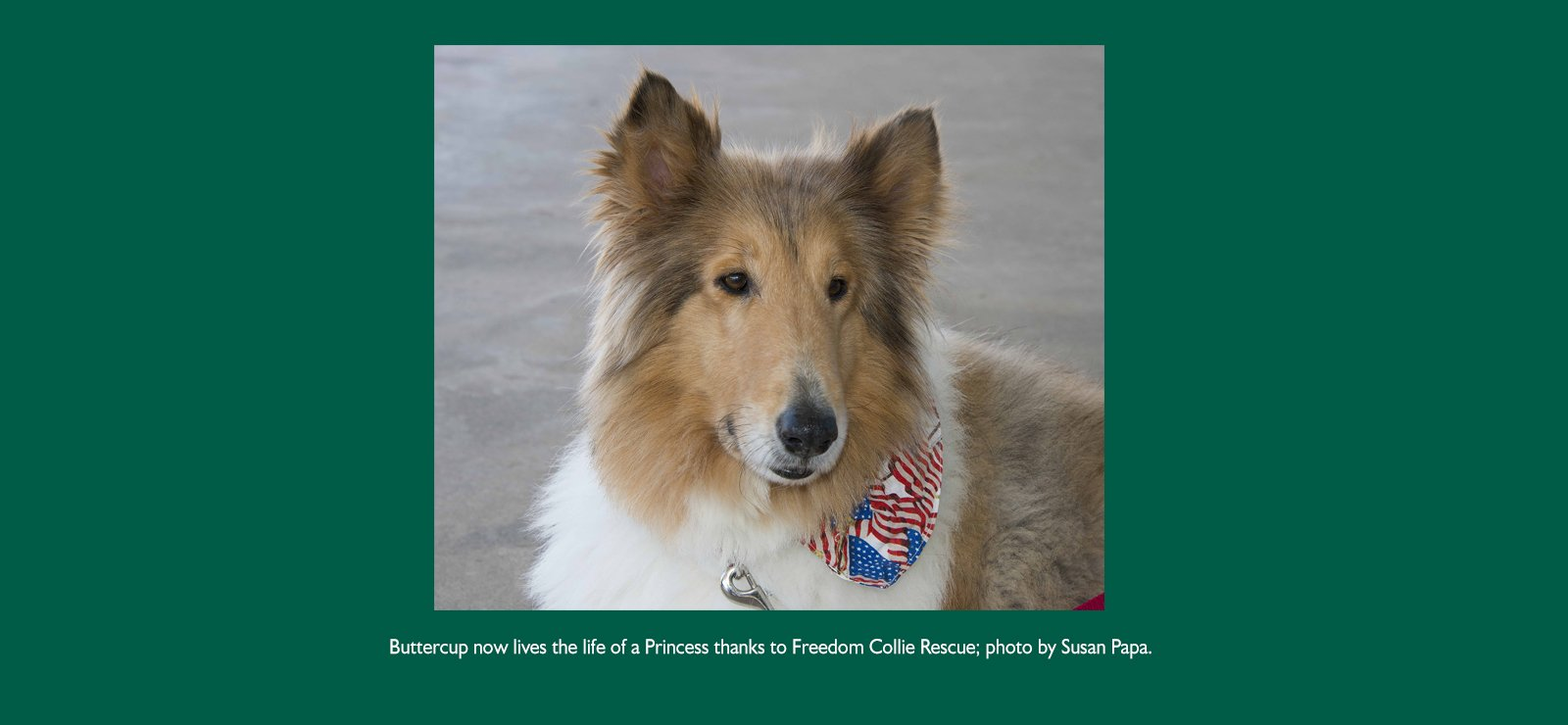 Buttercup now lives the life of a Princess thanks to Freedom Collie Rescue; photo by Susan Papa.
