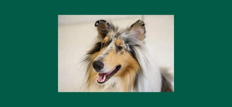 "Example of a Blue Merle Collie for article ""Dog's Best Friend""."