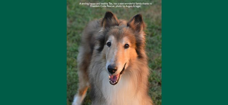 A smiling happy and healthy Tex, has a new wonderful family thanks to Freedom Collie Rescue; photo by Angela Kriegel.