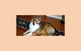 "Collie image for article ""Pet Trusts & Pet Protection Agreements""."
