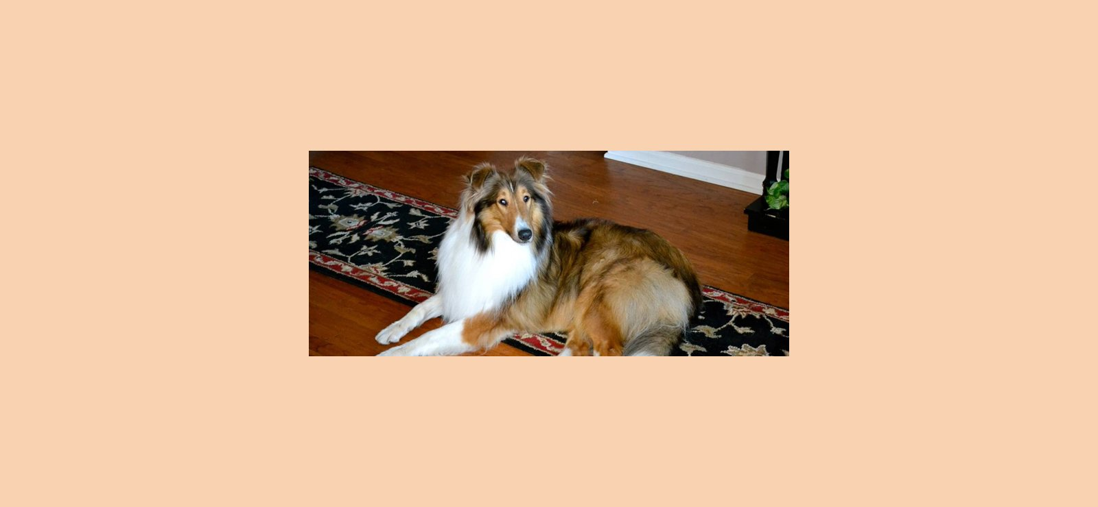 """Collie image for article """"Pet Trusts & Pet Protection Agreements""""."""