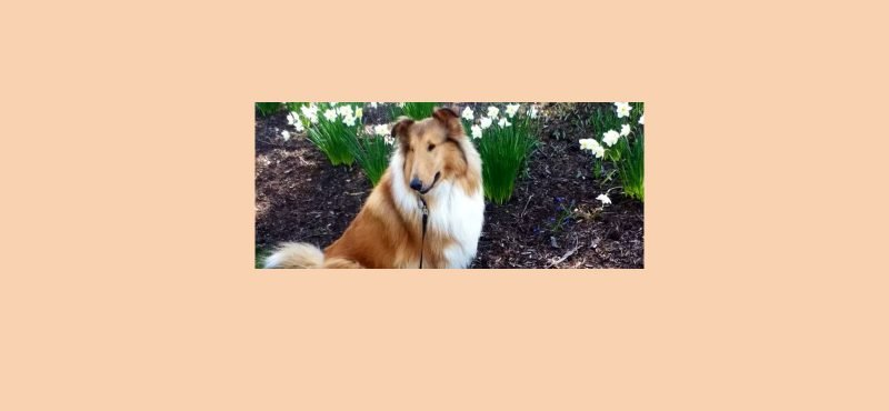 "Example of a sable collie for article ""Quality of Life""."
