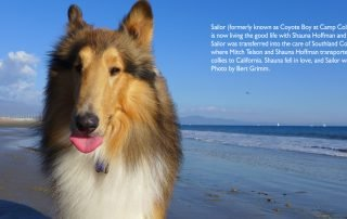 Sailor (formerly known as Coyote Boy at Camp Collie) is now living the good life.